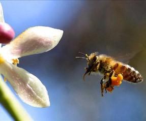 Cep telefonu arıları yok ediyor!